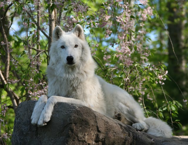 The Artic gray ambassador wolf Akta, from the Wolf Conservation Center, will be on hand to teach festival visitors about the important role we all play in environmental conservation.