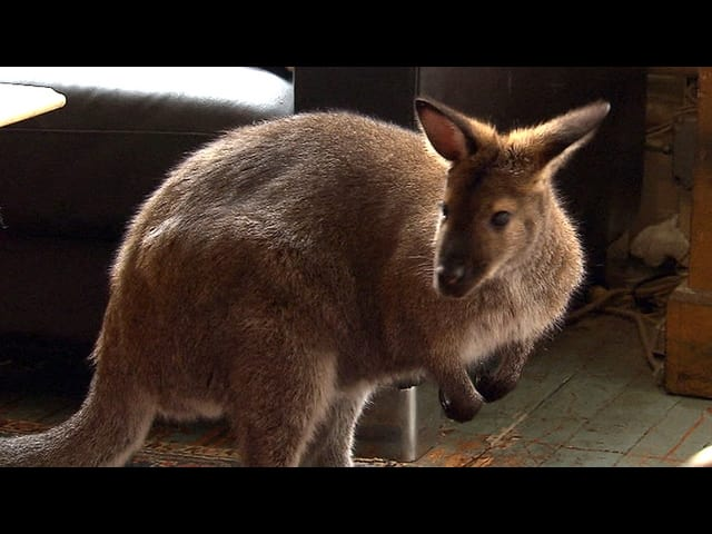 Indy, a wallaby in North Salem, has been missing for two weeks.
