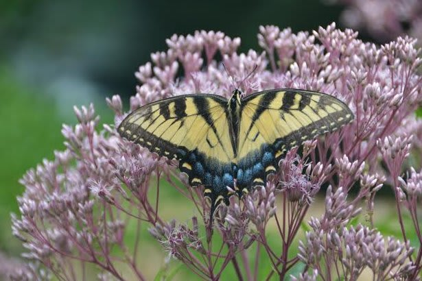 "To attract and support generations of butterflies, you must include not only nectar plants, but native ""host plants"" in your landscape."