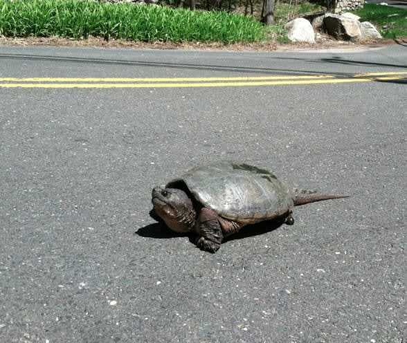A turtle on Porchuck Road on Monday takes a stroll.