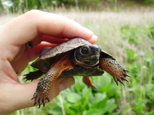 The Bedford Audubon Society is hosting an annual meeting prior to the Katonah Village Library's lecture on Wood Turtles.