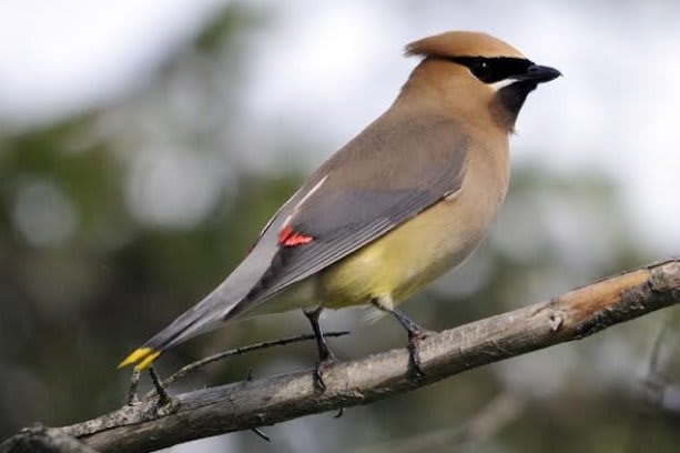 Cedar Waxwings are one of the many bird species you can attract to your yard.