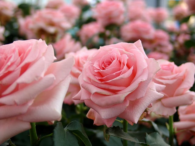 Plants and Things Floral Design will distribute complimentary roses at Oakwood Cemetery and St. Francis Cemetery on Sunday, May 25.