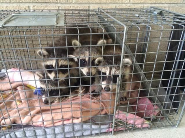 These baby raccoons were left and at Mount Kisco office of the County Health Department, which is looking for the person who left them on May 23.