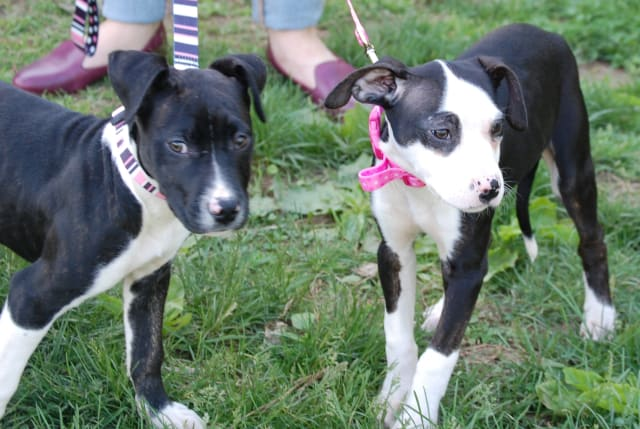 Remy (left) and Iggy are available for adoption through WASA.