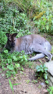 Indy, a missing wallaby from North Salem, was recently spotted in Lewisboro.