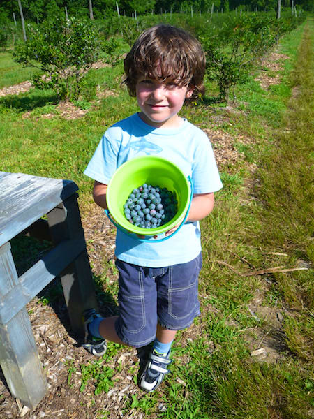 "A small hiker takes part in blueberry picking at Aspetuck Land Trust. The next ""Blueberry Adventure"" hike will be held Saturday, July 12."