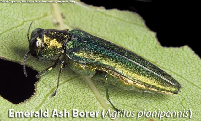 The emerald ash borer has been spotted in 16 Connecticut communities.