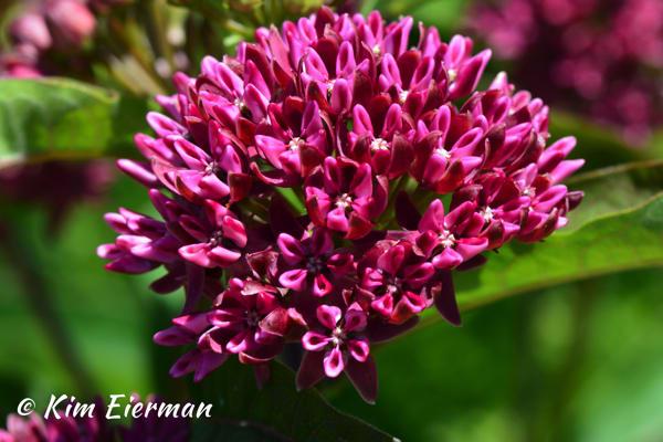 Purple Milkweed (Asclepias purpurascens)