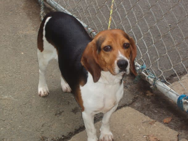 A 3-to-5-year-old beagle was found in Somers.