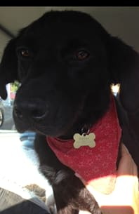 Belle, a 10-month-old retriever or maybe border collie, is available for adoption with a Westport group.