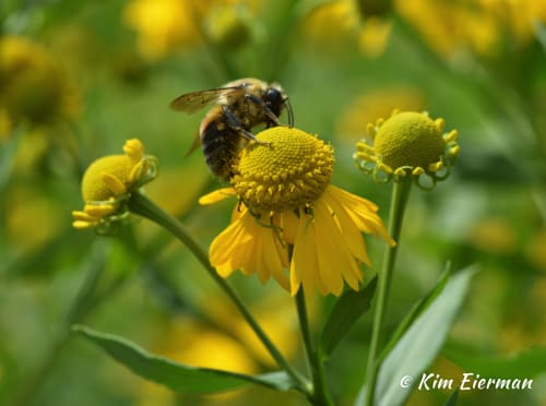 Sneezeweed (Helenium autumnale) and native bumble bee.