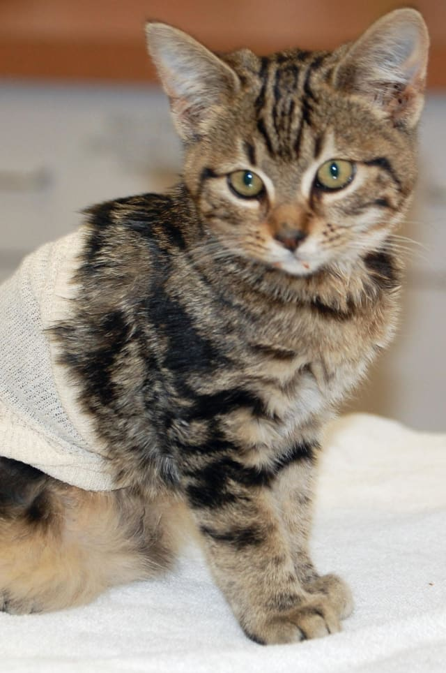 Malloy, a female kitten rescued outside the Westport Library last week, needs a home.