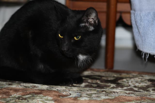 Do you know me? This black cat was found at Norwalk High School.