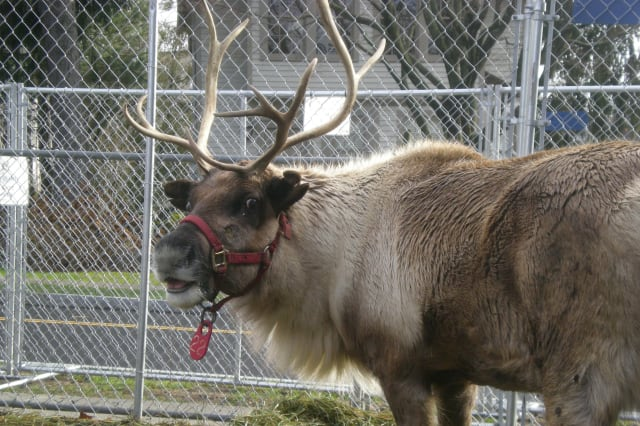 Santa's reindeer will take up residence in Greenwich again this holiday season.
