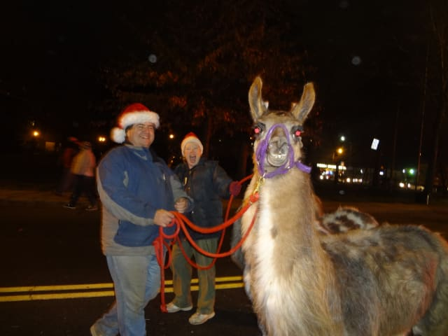 A llama is marched through downtown Yorktown for the first annual Holiday Lights Parade Spectacular .