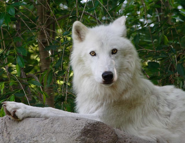 Meet the Wolf Conservation Center's ambassador wolf Atka at one of several events this weekend.