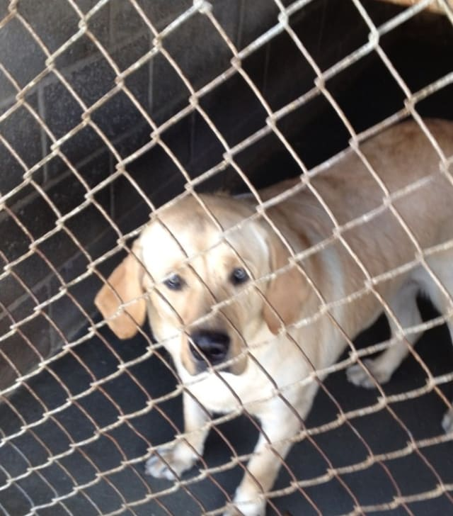 A neutered male Yellow Labrador Retriever was found by Lawrence Park in Bronxville.