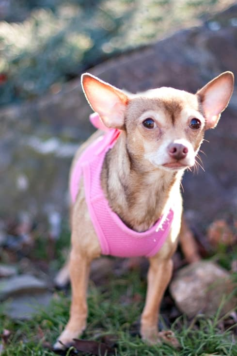 Chai Tea Latte, a chihuahua, is one of many adoptable pets available at the SPCA of Westchester in Briarcliff Manor.
