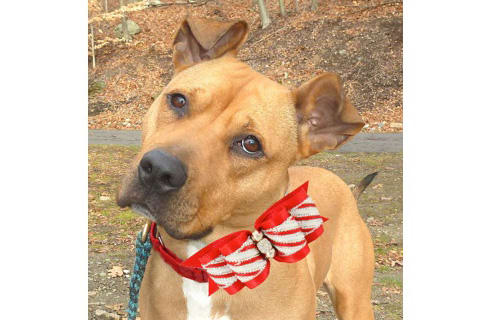 Taffy, a pit bull mix, is one of many adoptable pets available at the Putnam Humane Society in Carmel.