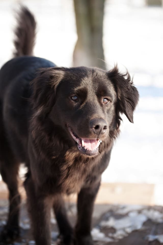 Blackie is a 4-year old retriever mix in need of a home.
