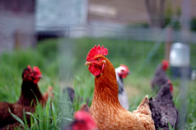 The Yonkers City Council held off on a vote Tuesday to allow residents to raise chickens and bees in city limits.