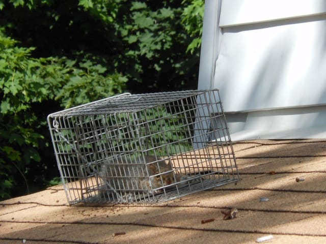 Chappaqua residents have seen more squirrels take refuge in their homes since Hurricane Sandy.
