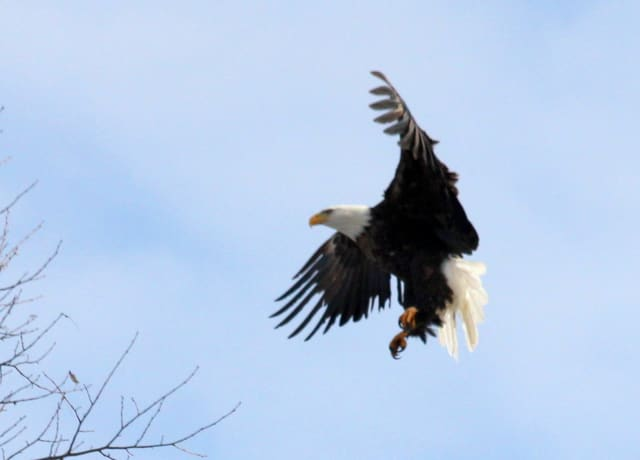 Check out Teatown's Eaglefest 2013 at Croton Point Park, this weekend.