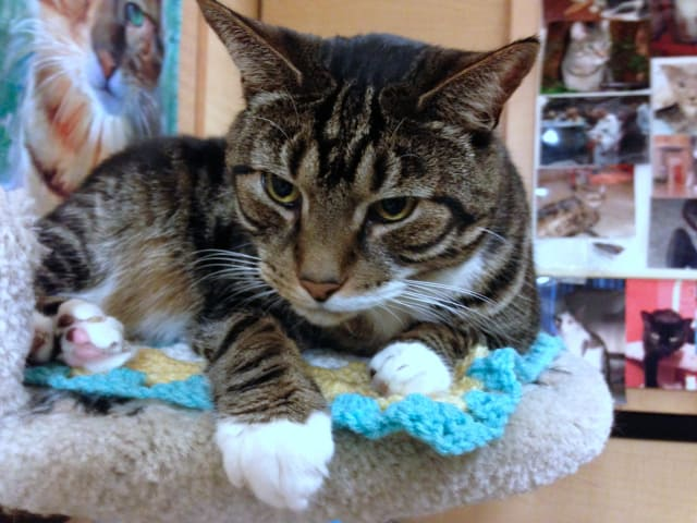 Troy, an older tabby with diabetes, needs to find a loving home in Yonkers.