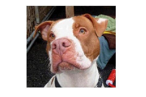 Neumann, a pitbull mix, is one of many adoptable pets available at the Putnam Humane Society in Carmel.