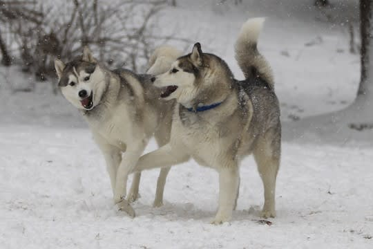 Winter Storm Nemo brought these Weston Siberian huskies their favorite weather.