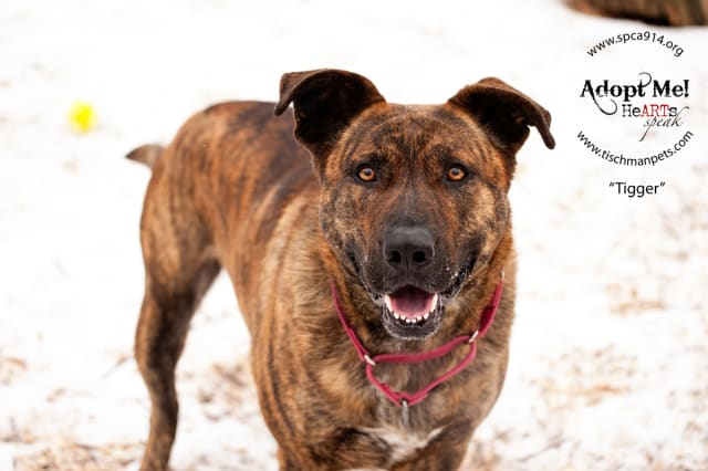 Tigger, a shepherd, is one of many adoptable pets available at the SPCA of Westchester in Briarcliff Manor.