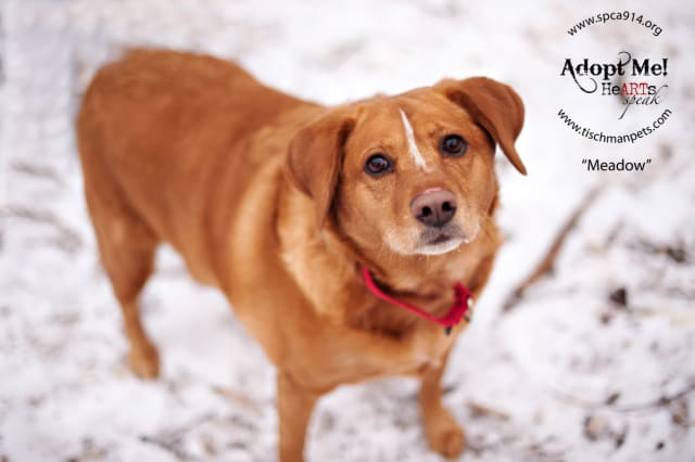Meadow, a retriever mix, is one of many adoptable pets available at the SPCA of Westchester in Briarcliff Manor.