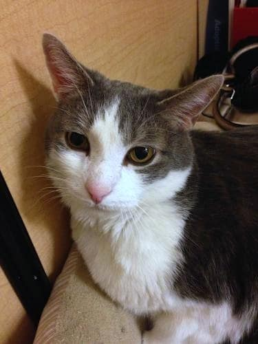 Nicky, a young gray-and-white male cat, needs to find a loving home in Yonkers.