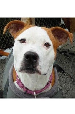 Christine, a pit bull mix, is one of many adoptable pets available at the Putnam Humane Society in Carmel.