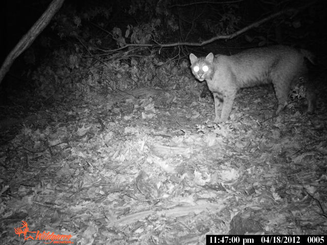 Bobcats have been frequent visitors to Westchester and Fairfield Counties, according to Westmoreland Sanctuary naturalist Adam Zorn.