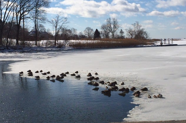 Geese sit on ice formed on Southport Harbor in Fairfield on Valentine's Day during one of the coldest periods of this winter.