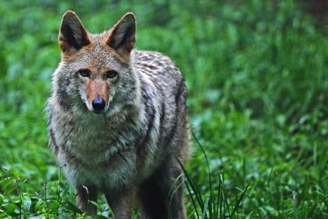 The Wild Dog Foundation will host a talk on coyotes in Westchester County on Sunday, March 16.