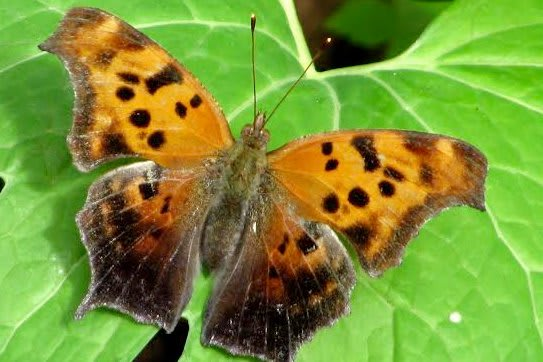 A Question Mark Butterfly.