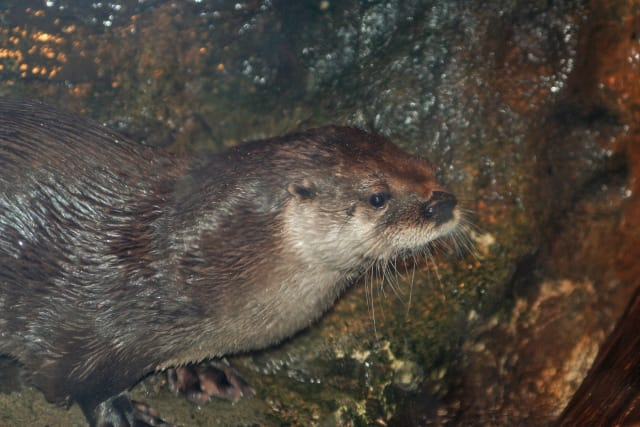 North American river otter Bell.