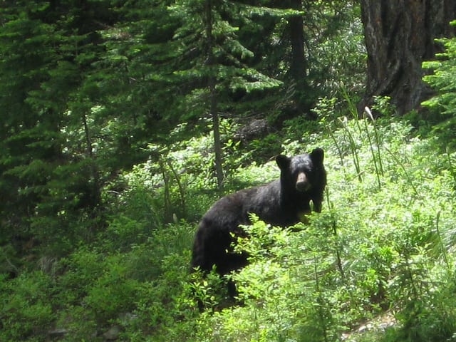 Village officials reported that there have been two sightings of black bears in Ardsley this week, April 15-16.