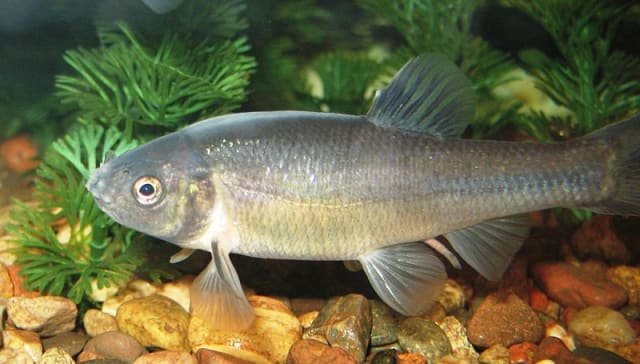 Westchester County will give out fathead minnows to help curtail the mosquito population.