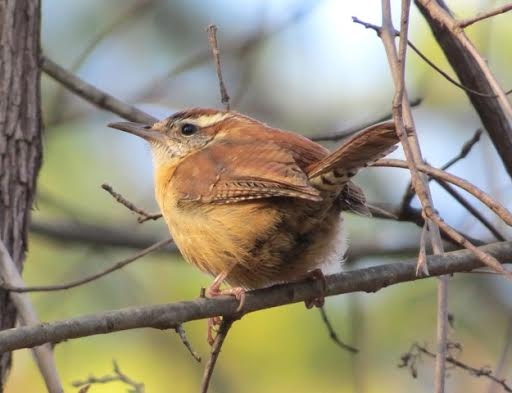 Carolina Wren, whose diet consists mainly of insects and spiders.