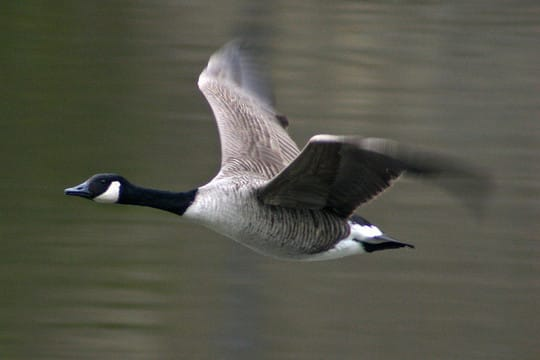 One goose was found dead in New Rochelle, city officials said.