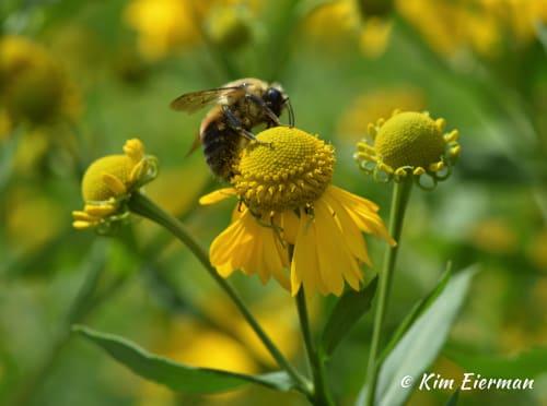 Sneezeweed (Helenium autumnale) and native bumble bee.
