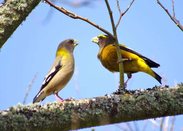 Evening grosbeaks are among the more unusual bird species spotted in the region in the aftermath of Hurricane Sandy.