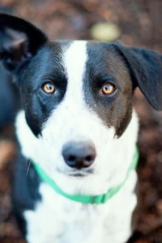 Banjo is a corgi/border collie mix who loves to have his belly rubbed.