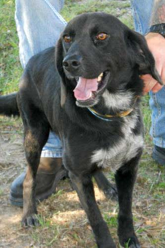 Buttermilk, a black Lab/border collie mix, is one of many adoptable pets available at the SPCA of Westchester in Briarcliff Manor.