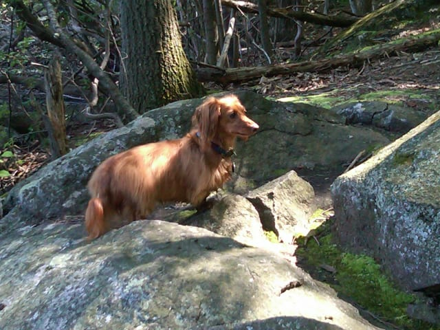 Patapouf, a 4-year-old male dachshund, was lost at the Blue Mountain Reservation on Saturday. A reward is available upon the dog's return.