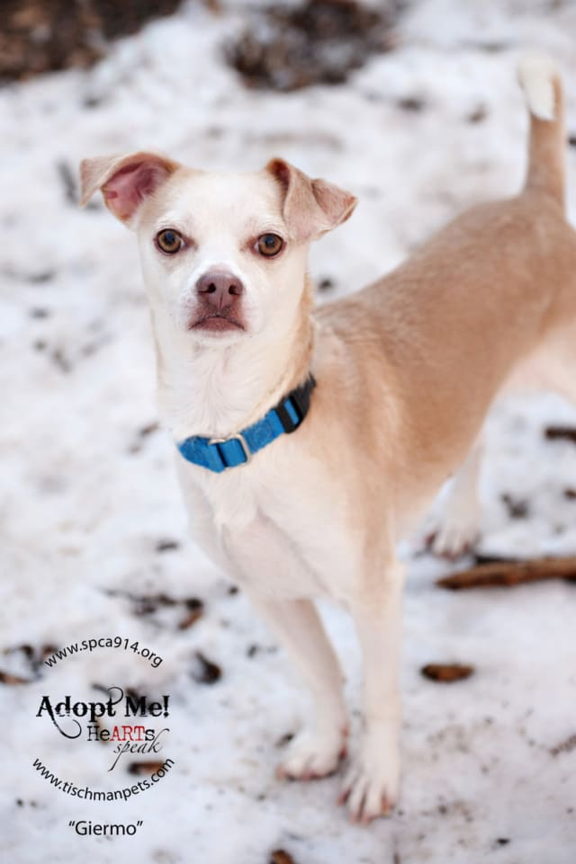 Guiermo, a Chihuahua/terrier mix, is one of many adoptable pets available at the SPCA of Westchester in Briarcliff Manor.